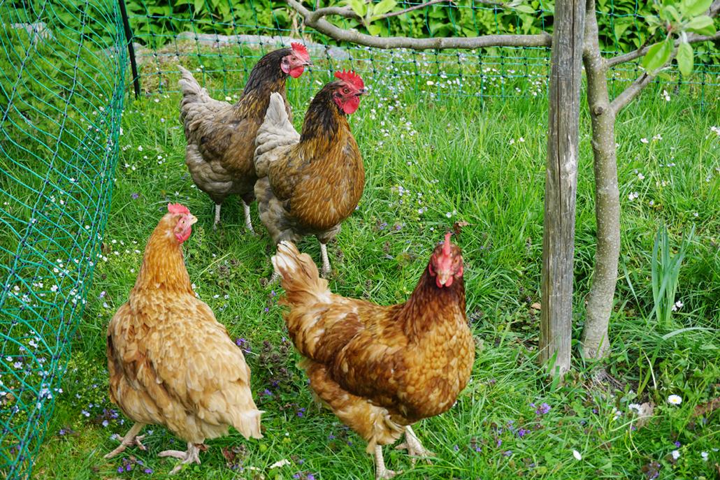 Ein paar Hühner sorgen für frische Eier